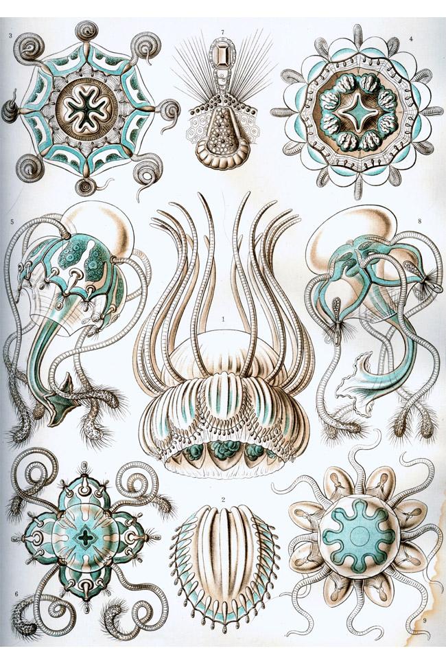 Ernst Haeckel: Narcomedusae
